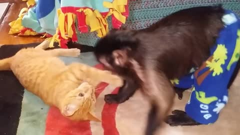 Capuchin monkey and cat wrestling: Who is Going to Win?