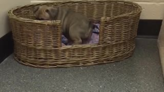 Daisy the clumsy French Bulldog puppy - Video