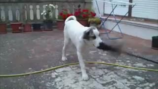 Before and after shows Mastiff's love of cleaning - Video