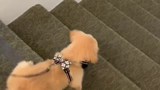 Puppy's first stairs