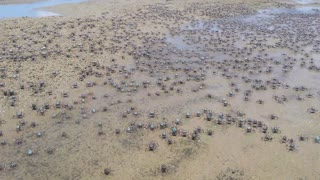 Thousands of Soldier Crabs - Video