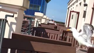 Seagull knocks over mans cup - Video