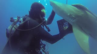 Shark Gets Help from Diver - Video