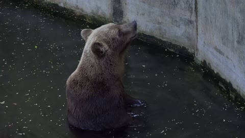 Bear in the water pond at the zoo-bear trying to climb the wall at zoo-bear's daily routine