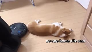 Lazy corgi totally unfazed by intruding robot vacuum