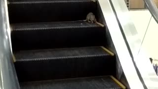 Rats on Escalator - Video