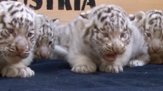 Five White Tiger Cubs Make Their Public Debut - Video