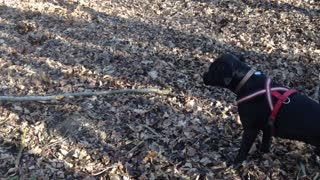 Ambitious dog attempts to pick up huge stick - Video