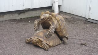 Turtle's Public Display of Affection - Video