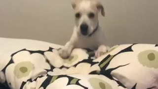 Small dog falls off pillow