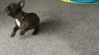 Frenchie puppy has so much fun playing with a balloon