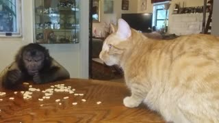 Cat and monkey share tasty breakfast together - Video