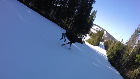 Ski Run Interrupted By Moose
