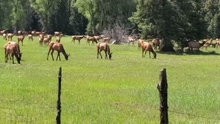 Beautiful Elk