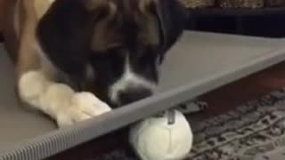 Dog tries to get ball under grey board