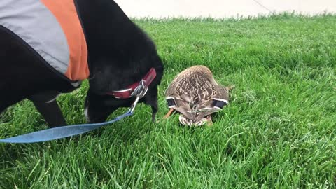 Sweet Old Service Dog Tries to Give Deceased Mallard Duck a Respectful Burial