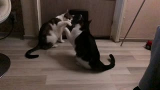 Two cats fighting in slow motion