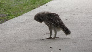 Young barred owl plays with a caterpillar
