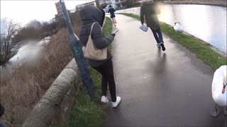 Swans Attack Pedestrians Walking to Work - Video