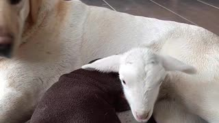 Pregnant Labrador incredibly adopts orphan lamb