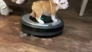 Bulldog puppy goes for a ride on a robot vacuum