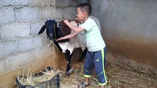 The Boy is Playing with Goat  - Video