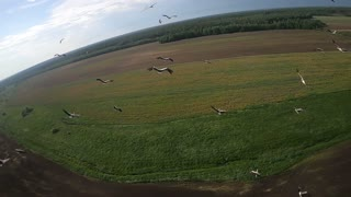 Flight with flock of storks