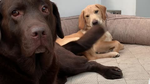 Dog's Happy Tail Cleans Puppy's Face