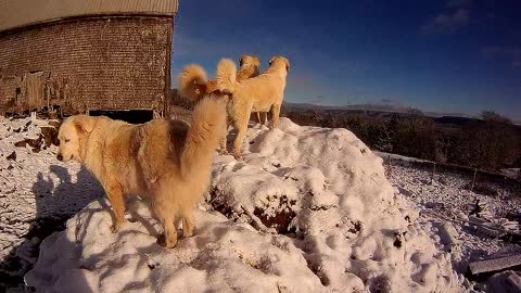 Livestock Guardian Dogs on lookout duty