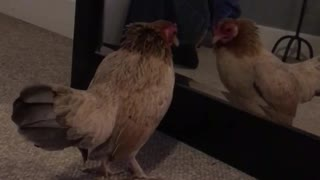 Chicken jumping in front of mirror