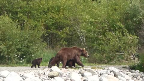 Grizzly Mom with Three Spring