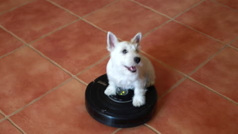 Westie Puppy Loves Riding On The Robot Vacuum