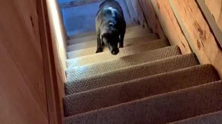 Buddy learns the stairs