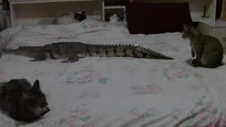 A close encounter of cats with ... a crocodile