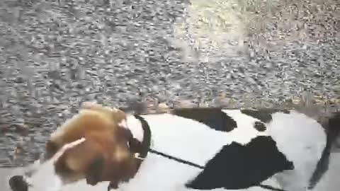 How to walk 6 dogs
