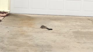 A Neighborhood Rat And A Snake Clutched In An Epic Battle