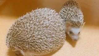 The little Hedgehog Next To The Mother sits