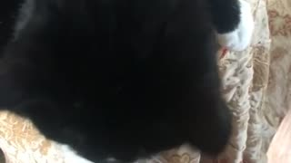 Black cat reaches out paws for owner to pet  - Video