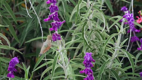 Allen's Hummingbird feeds on Mexican Sage plant