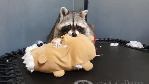 The raccoon is venting his anger on the teddy bear.