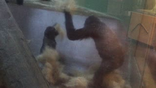 Young gorilla engages in epic playtime at zoo - Video