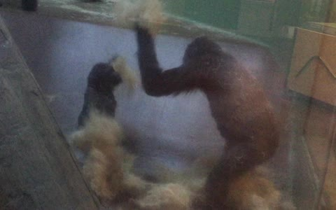 Young gorilla engages in epic playtime at zoo