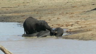 Bull elephant makes his brother scream during wrestling match