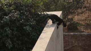 high jump of cat from 1 wall to other  - Video