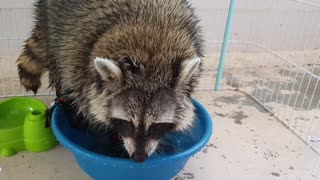 Raccoon does the laundry.