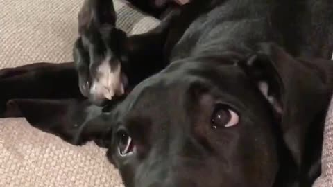 Goofy Great Dane puppy fails at scratching his head