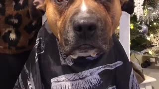 Pit Bulls hilariously joins owner for haircut session