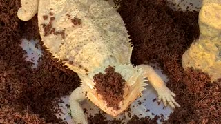 Bearded Dragon digs her way into our hearts!