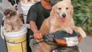 Dude rides on moped with 6 dogs