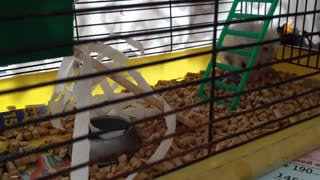 My hamster is a little builder